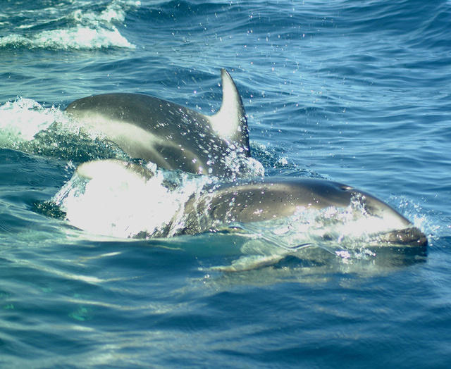 Pacific white sided dolphins #1