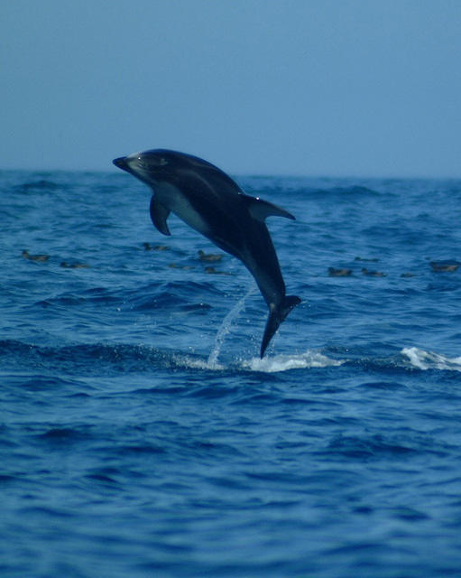 Pacific white sided dolphins jumping #3