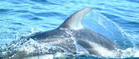 Pacific white sided dolphin #2