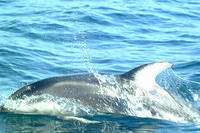 Pacific white sided dolphins #3