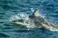 Pacific white sided dolphins #4