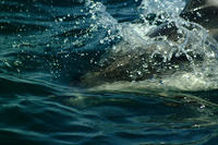 Pacific white sided dolphins #5