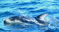 Pacific white sided dolphins #6