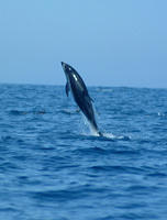 Pacific white sided dolphins jumping #2