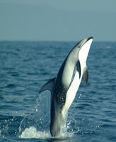 Pacific white sided dolphins jumping #4