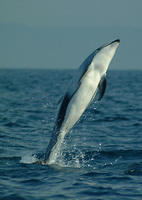 Pacific white sided dolphins jumping #6