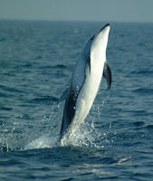 Pacific white sided dolphins jumping #8