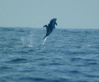 Pacific white sided dolphins jumping #9